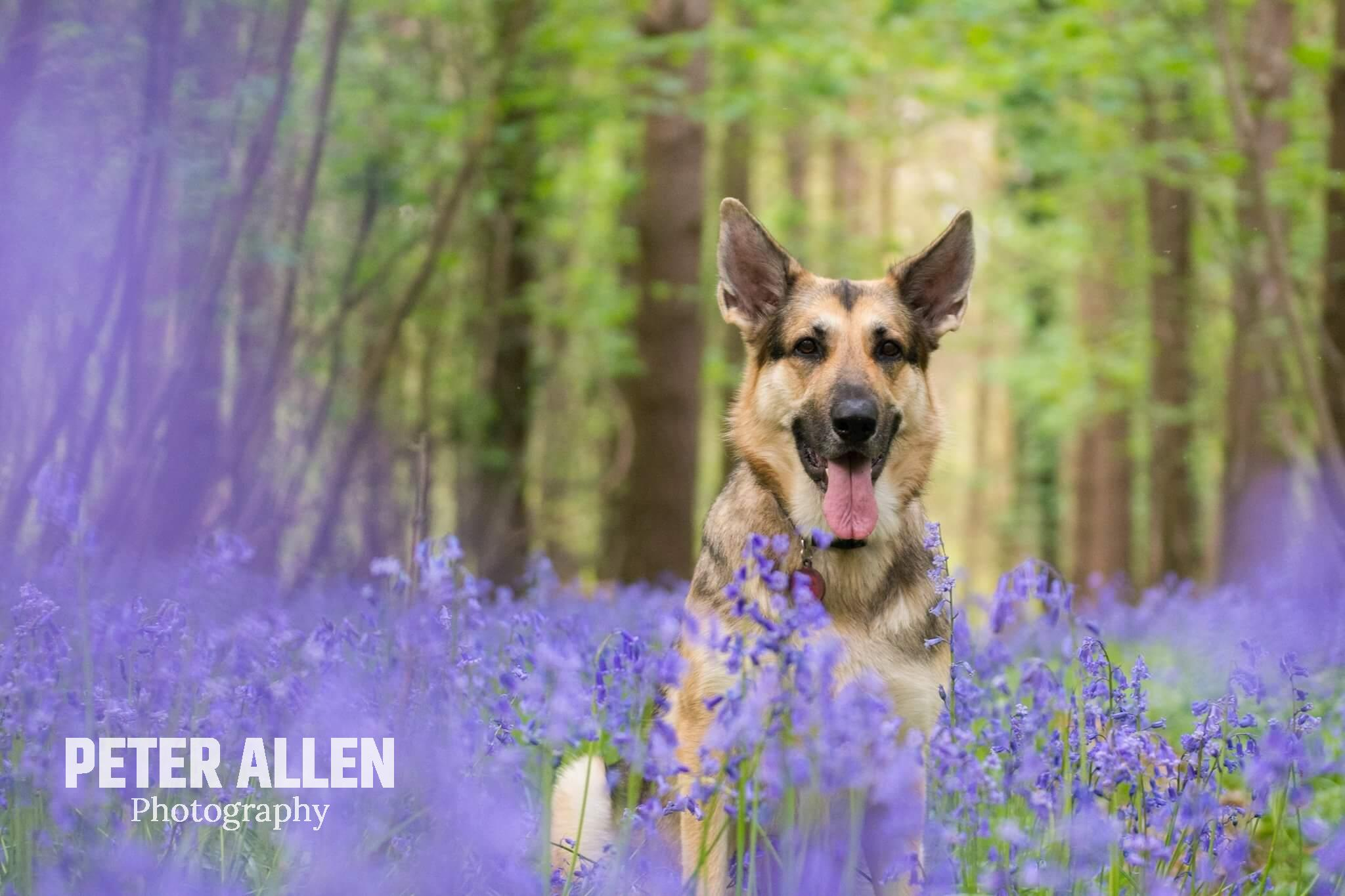 German Shepherd sitting in a bed of bluebells