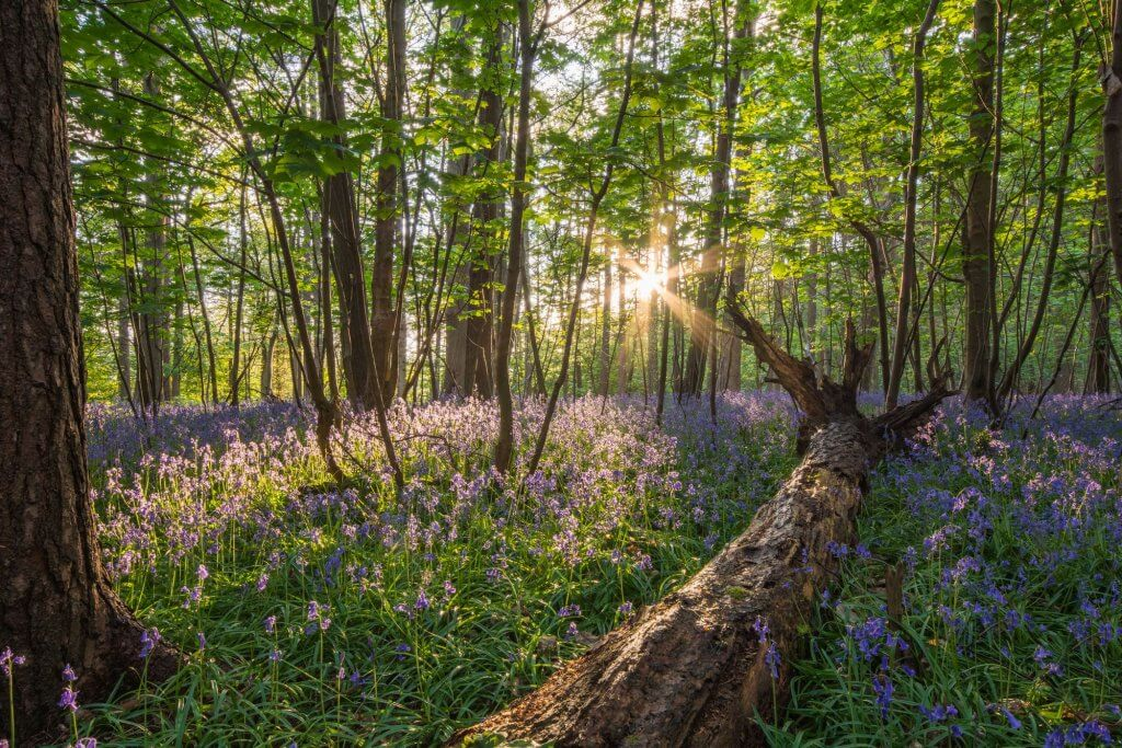 Bluebell Woods at Sunset