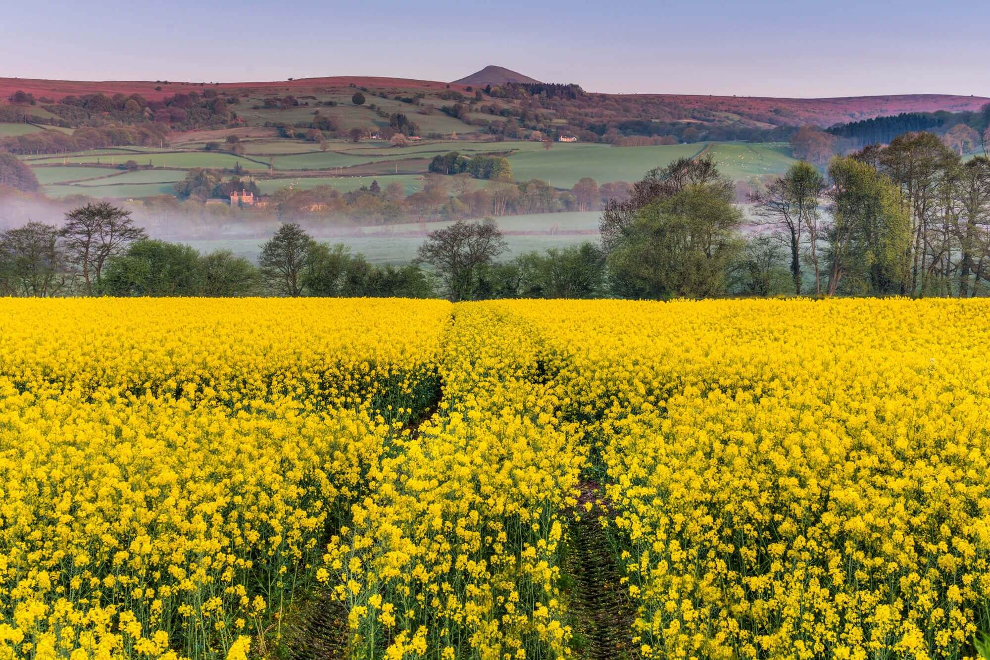 Rapeseed Field at The Foot of Sugarloaf